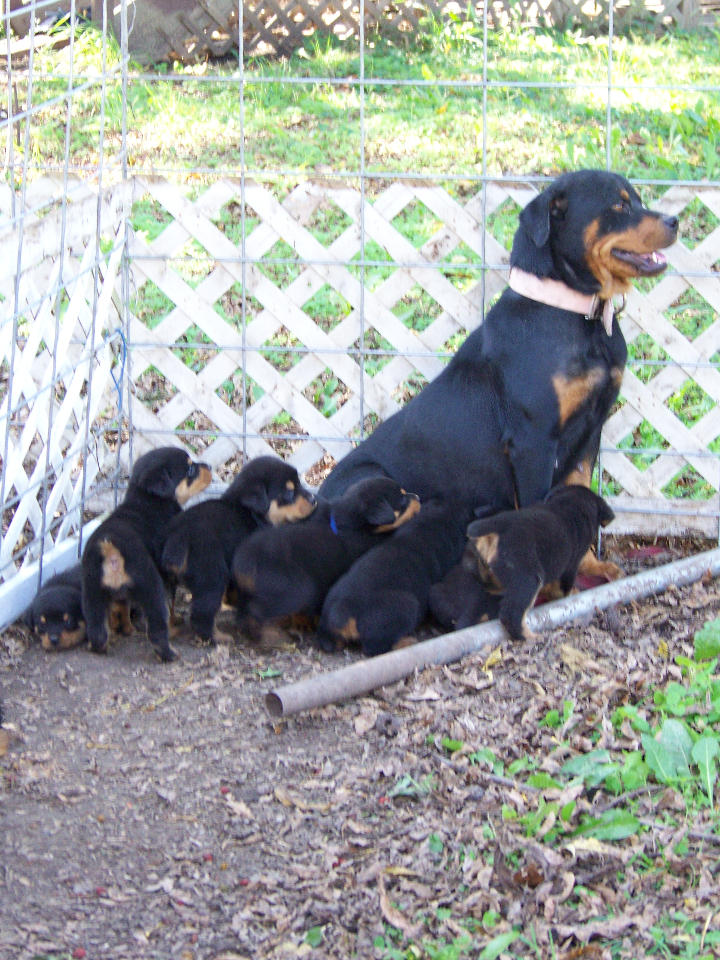 Rottweiler pups for sale with docked tails